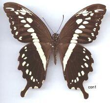 Papilio Constantinus Machaon Vrai Papillon Entomologie de la Verge-D'Or
