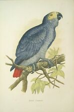 Antique Parrot Print: Hand Finished Wood Block Engraving: WT Greene, London,1884