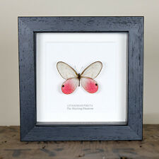 The Blushing Phantom Butterfly in Box Frame (Cithaerias pireta)