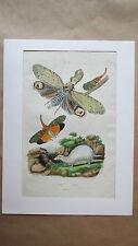 Gravure en couleur du XIXè s. Fulgore. Furet. Papillon. Entomologie.