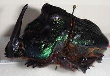 Scarabaeidae Coprophanaeus ensifer 42.3mm Paraguay #DU-3 Dung Beetle Heliocopris