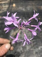 Live Rooted- Society Garlic (Tulbaghia violacea) Purple Low Maint Deter Pests