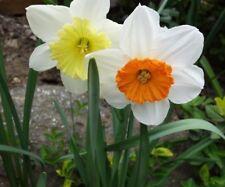 DaffodiL Sensational Blend of MIXED - flower bulbs x 10 sale bargain