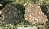 Fresh black truffles italian. Precious T. Aestivum 260g. Mushrooms 9,2oz.
