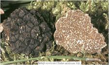 Fresh black truffles italian. Precious T. Aestivum 260g. Mushrooms 9,2oz.