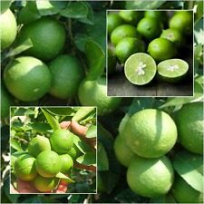 Citrus aurantifolia  100 seeds lime for planting Best from Thailand
