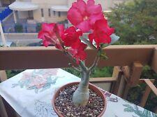 BiG Adenium Obesum Bonsai Cactus Succulents Plants