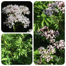 Echter Baldrian Valeriana officinalis Arznei-Baldrian Heilpflanze Räucherpflanze