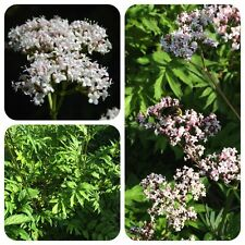Véritable valériane valeriana officinalis médicament-valériane précieux räucherpflanze