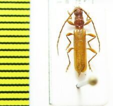 Cerambycidae sp., Malawi