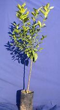 citrus Limon Zitrone Meyer lemon plant Pflanze in fitocella