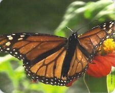 Mauspad Edition Colibri: Monarch - Falter - schönes Porträt vom Schmetterling