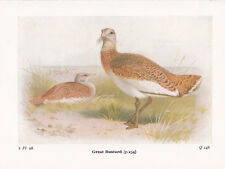 BIRD PRINT 60 YEARS OLD ~ GREAT BUSTARD MALE & FEMALE BIRDS OF THE BRITISH ISLES