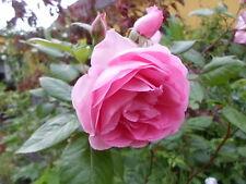 Kartoffel - Rose, rosa-pink, stark duftend,Tee, Eis, Obst,Hagebutte, Rosa rugosa