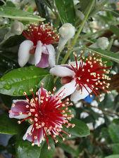 Strawberry Guava (Feijoa sellowiana) - 30 Fresh Seeds