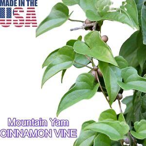 Cu Mai Dioscorea batatas CINNAMON VINE CHINESE YAM Herb Vine Medicinal 5 tubers