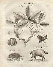 1797 georgiano stampa ~ Jatropha ELASTICA impianto HYSTRIX jtzecuintepotzotli