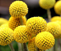 CRASPEDIA BILLY BUTTONS Craspedia Globosa - 50 Seeds