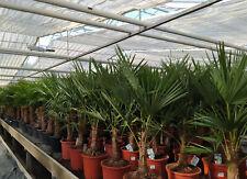 Trachycarpus fortunei cinese canapa Palma inverno duro Palma Pianta 35-500cm