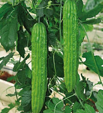 FD1173 Balsam Pear Seed Bitter Melon Organic Vegetable 1 Pack 10 Seeds Brand New