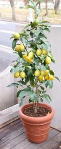 2 Zitronenbaum besondere ausgefallene Geschenke für Frauen Kinder Männer Oma Opa