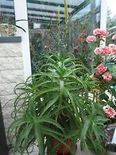 aloes - jeune plante de +/-30-35 cm - intérieur - en pot
