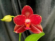 Phalaenopsis Al Sun Hannover 'Red' Novelty Phal hybrid Mature Size K-71