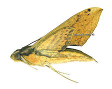 Unmounted Butterfly/Sphingidae - Xylophanes resta, FEMALE, Bolivia