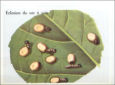 IMAGE CARD Eclosion du ver à Soie Larve Hatching larvae of the worm Silk 60s
