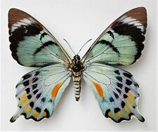 More details for papilio laglaizei (female) from bapi  morobe province p.n.g
