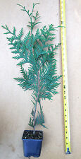 """GREEN GIANT THUJA (Cedar/ Arborvitae) Extra Large 16""""-24"""" TALL- 6 potted plants"""