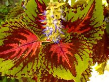 KONG SALMON Coleus Shade Large Leaves Colorful 5 Seeds