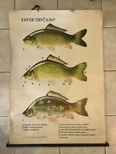 Original vintage zoological pull down school chart - Carp - fishing