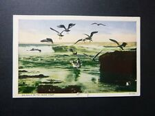 Sea Gulls on the Pacific Coast, White Border Postcard