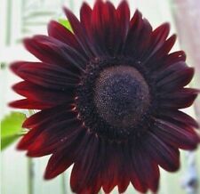 Velvet Queen Sunflower Seeds   20+ seeds