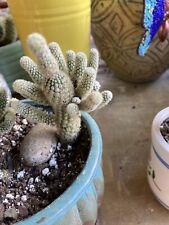 Mammillaria elongota - Ladyfinger Cactus 4 Inches Tall