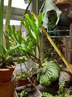 Extremely rare in Europe, Platycerium ridleyi SPORES, Ridley's staghorn fern