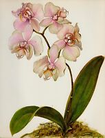 Antique Botanical ORCHID Print Pink Flower Wall Art Phalaenopsis Orchid 3805-118