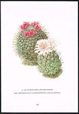 1960's Vintage Mammillaria & Echinocactus Cactus Flower Botanical Art Print