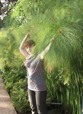 Papyrus-la otra habitación planta-hasta 3 metros de alto-semillas siempre tiene prisa!