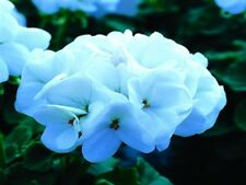 Geranium Seeds Saturn White Lightning 15 flower seeds