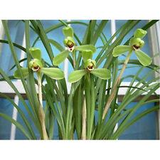 Cymbidium goeringii 'Guan Yao Mei' Rare Orchid