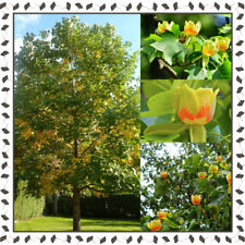Tulip Tree, Yellow Poplar - Liriodendron tulipifera (30+ seeds per package)