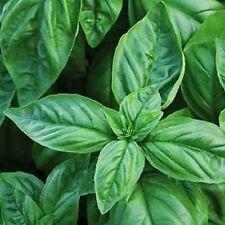 Basil Large Leaf Italian Herb Seeds - Bulk - 5,000 Seeds