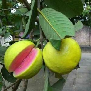Psidium guajava pink guava 50 seeds