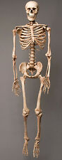 Aged Harvey Life-Size Human Halloween Skeleton, Haunt Skeletons NEW