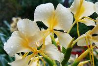 HAWAIIAN WHITE GINGER HEDYCHIUM CORONARIUM STARTER PLANT ROOT - 1 ROOT PER PACK