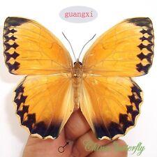 WHOLESALE LOTS 50 pcs butterfly Stichophthalma howqua material artwork CHINA