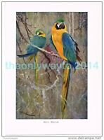 BLUE MACAW, BOOK ILLUSTRATION (PRINT), LYDEKKER, c1916