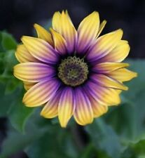 25 Purple Yellow Daisy Seeds Osteospermum Flower African Exotic Garden Bi Color